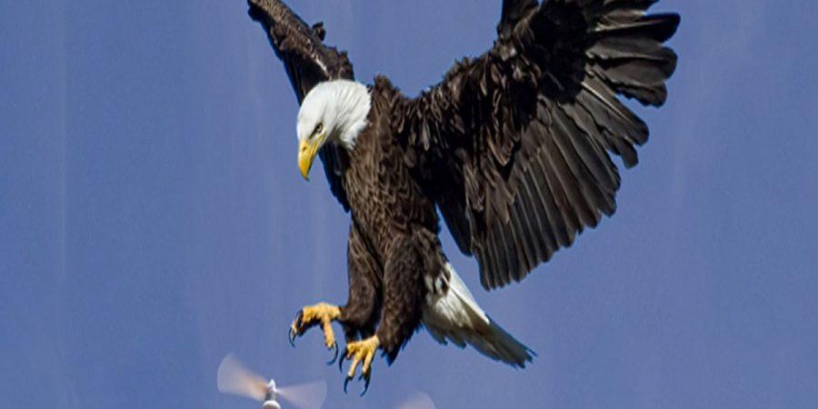 Uccelli contro droni